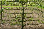 Planter un arbre fruitier formé