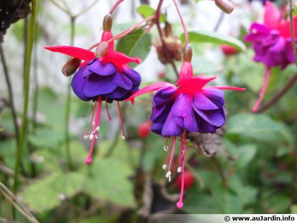 Un fuchsia en pot en fleurs, mais comment le faire hiverner ?