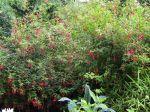 Fuchsia de Magellan, Fuschia rustique