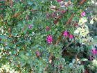 Fuchsia à petites feuilles, Fuchsia microphylla