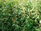 Fuchsia royal, Fuchsia regia