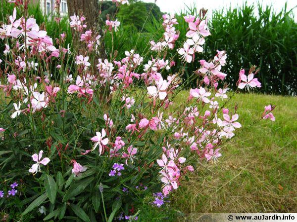 Gaura de lindheimer gaura lindheimeri planter cultiver multiplier - Pensee fleur vivace ou annuelle ...