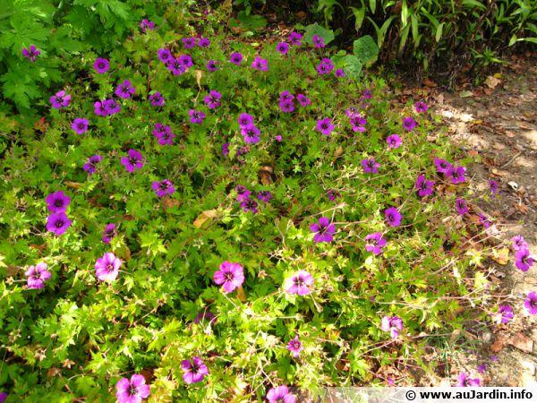 g ranium vivace psilostemon geranium psilostemon planter cultiver. Black Bedroom Furniture Sets. Home Design Ideas