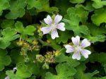 Géranium vivace à feuilles de crêpe, Geranium renardii