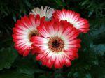 Fleurs de Gerbera