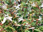 Spirée à 3 feuilles, Gillenia trifoliata