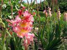 Glaieul, Gladiolus