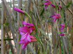 Glaïeul d'Italie, Glaïeul des moissons, Gladiolus italicus