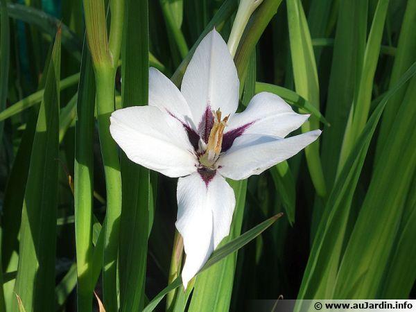 Glaïeul d'Abyssinie, Acidanthère bicolore, Gladiolus murieliae