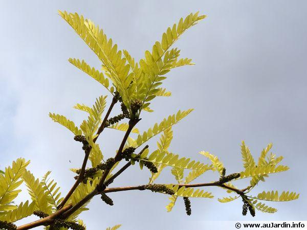 Févier d'Amérique doré, Févier sans épine doré, Gleditsia triacanthos f. inermis 'Sunburst'
