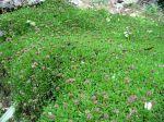 Globularia cordifolia, Globulaire à feuilles cordées