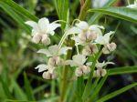 Faux-cotonnier, Gomphocarpe à feuilles de saules, Gomphocarpus fructicosus