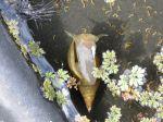 La grande limnée, un escargot majestueux dans la mare