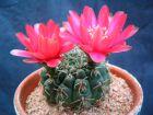 Cactus araignée, Gymnocalycium baldianum