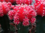 Chin cactus, Cactus fraise, Gymnocalycium mihanovichii