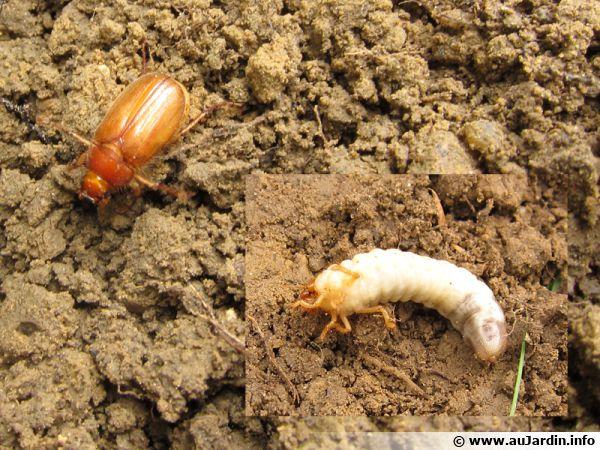 La hanneton adulte et sa larve