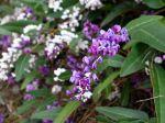 Fleurs d'Hardenbergia violacea et Hardenbergia violacea 'Alba' en arrière plan