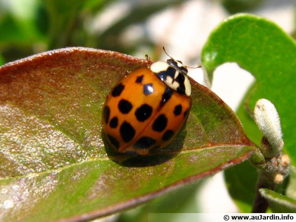 L'invasion de la coccinelle asiatique