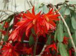 Cactus de Pâques, Hatiora gaertneri, Rhipsalidopsis gaertneri
