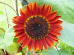 Soleil, tournesol, Helianthus, Helianthe