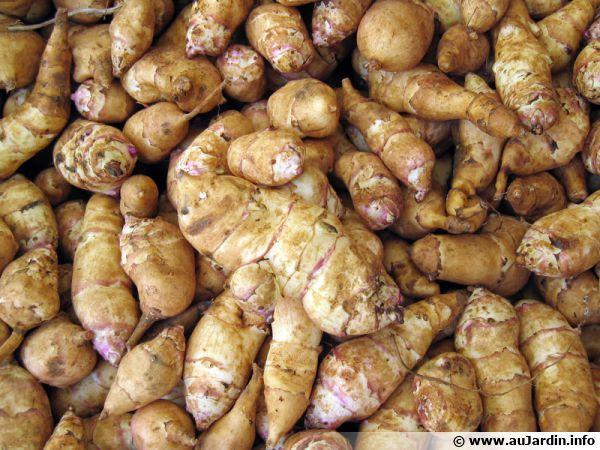 Topinambour helianthus tuberosus conseils de culture - Cuisiner les topinambour ...