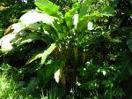 Balisier des Cara�bes, Heliconia caribaea