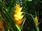 Balisier des Caraïbes, Heliconia caribaea