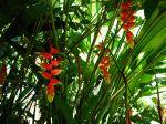 H�liconia rostr�, Heliconia rostrata, Pince de homard