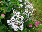 Héliotrope du Pérou, Heliotropium arborescens 'Scentropia Silver'