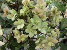 Hellébore noire, Rose de Noël, Helleborus niger