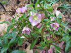 Rose de carême, Hellebore orientale, Helleborus orientalis