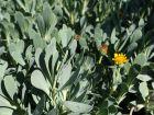 Queue de castor, Othonne à feuilles de giroflées,  Hertia cheirifolia