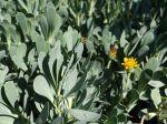Queue de castor, Othonne à feuilles de giroflées,Hertia cheirifolia