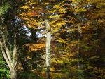 L'hêtre, un arbre à l'élégante noblesse