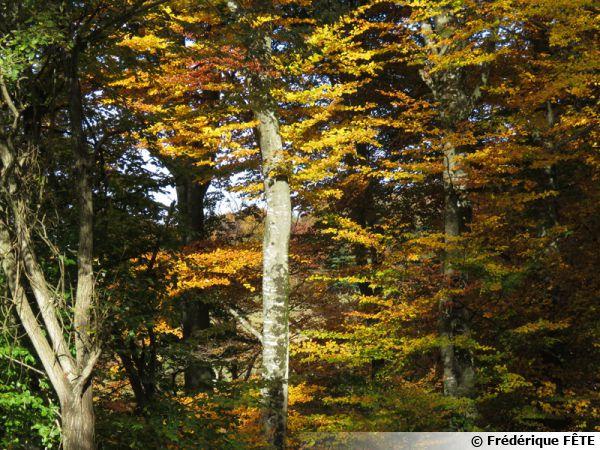Des hêtres en automne...