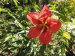 Etoile du Texas, Ketmie écarlate, Hibiscus coccineus