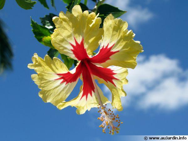 La fleur d'hibiscus symbole de la Malaisie et de la Polynésie