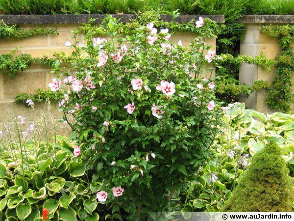 L'althéa est un arbuste de culture facile à l'allure exotique