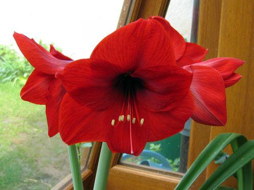 Amaryllis hippeastrum conseils de culture for Arrosage des amaryllis