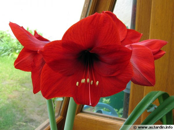 Amaryllis hippeastrum planter cultiver multiplier for Planter des amaryllis