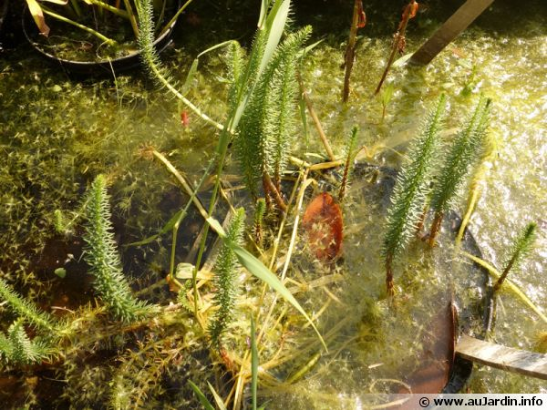 Pesse d'eau, Pesse vulgaire, Hippuris vulgaris