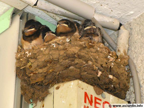 De jeunes hirondelles dans leur nid... Elles sont malheureusement de moins en moins nombreuses...