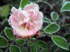 A l'apparence délicate mais pourtant de nature très résistante,  la jolie corolle du rosier Louis Blériot, toujours en fleurs aujourd'hui