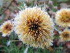 Les fleurs du chrysanthème magnifiée par le gel
