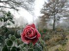 Quand le gel se prend pour un artiste et peint le charmant portrait de la rose Line Renaud