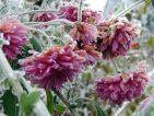 Figés de froid les chrysanthèmes sont encore à l'honneur et dispensent les dernières couleurs de l'automne