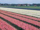 Hollande, champ de bulbes en fleurs