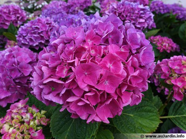 Sachez identifier les maladies ou carences de l'hortensia pour obtenir une belle plante et de belles fleurs !