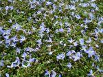 Houstonie bleue, Houstonia caerulea 'Millard's Variety'