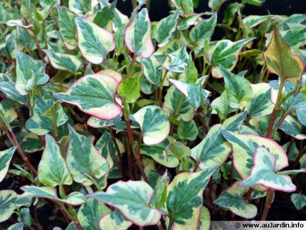 Plante caméléon, Houttuynie tricolore, Houttuynia cordata 'Chameleon'